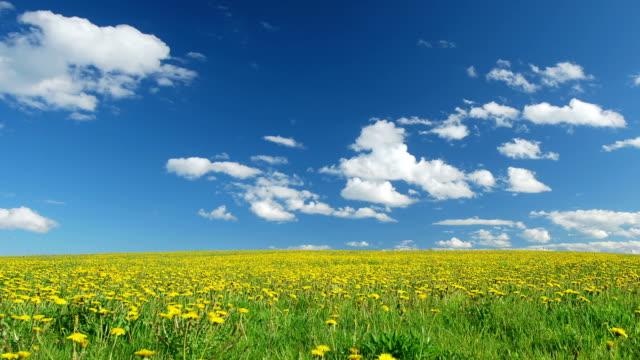 Glade of dandelions on springtime video