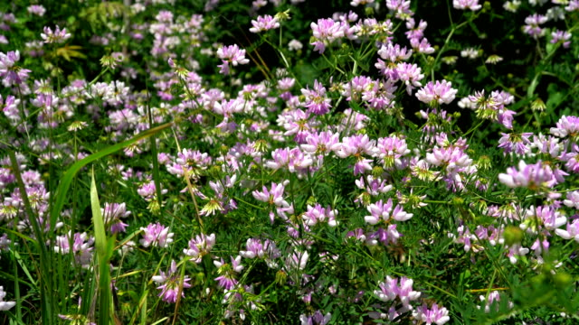 Glade with flowering clover video