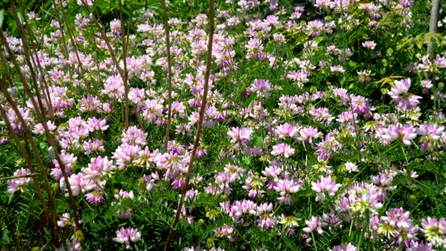 Glade with flowers clover video