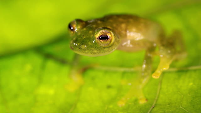 Glass Frog (Hyalinobatrachium sp.) video