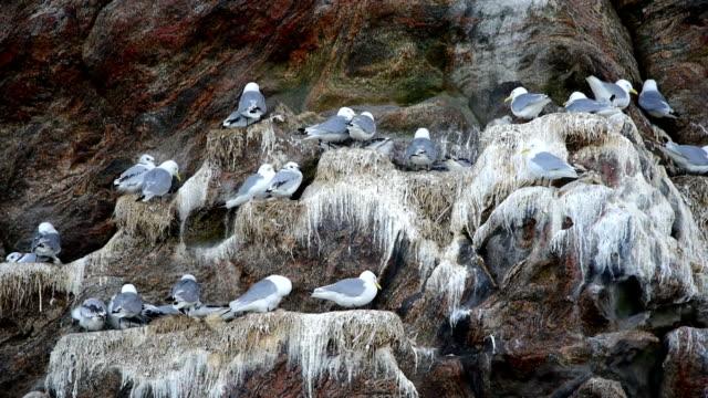 Glaucous gull attacks Little Auk's nesting colony video