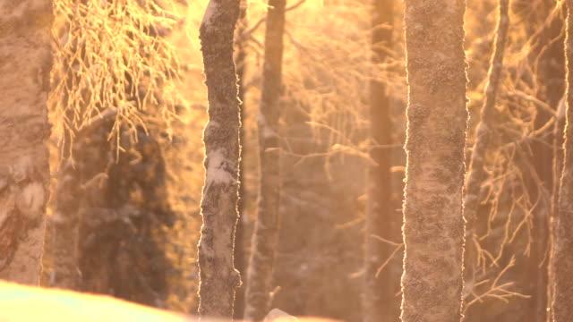スローモーション: きらめく雪の晴れた朝に雪に覆われた木のてっぺんから落ちて ビデオ