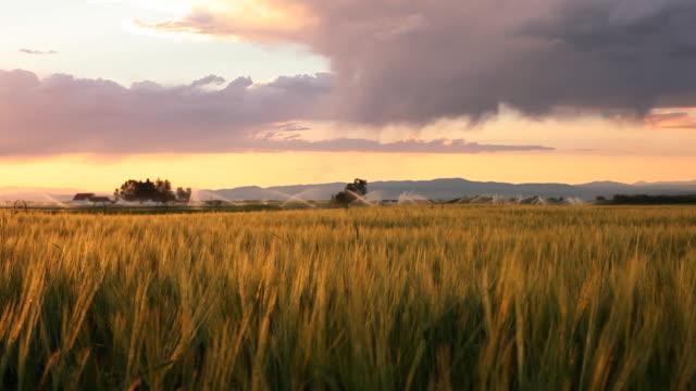 Glowing wheat at sunset video