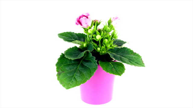 Gloxinia flower blooming; TIME LAPSE HD TIME LAPSE SHOT of pink Gloxinia flower blooming in front of white background potted plant stock videos & royalty-free footage