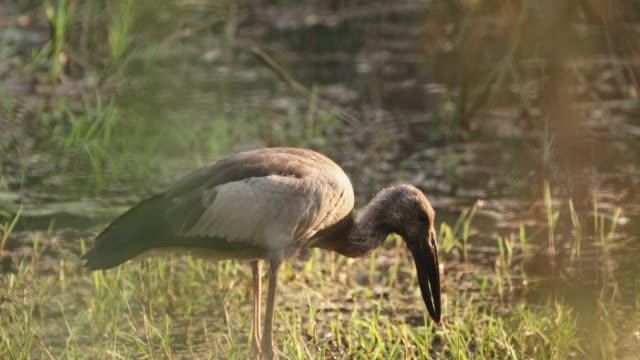 goa, hindistan. yakın asya openbill kuş veya asya openbill leylek - full hd format stok videoları ve detay görüntü çekimi
