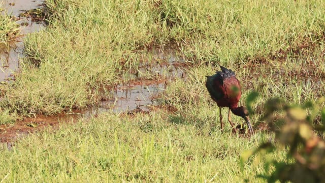 goa, india. glossy ibis in morning looking for food in swamp. plegadis falcinellus is a wading bird in the ibis family threskiornithidae - ornitologia video stock e b–roll