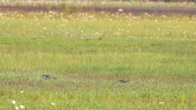 goa, india. grey-headed swamphen birds in morning looking for food in swamp, pond. porphyrio poliocephalus - ornitologia video stock e b–roll