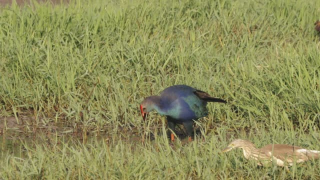 goa, india. grey-headed swamphen birds in morning looking for food in swamp, pond. porphyrio poliocephalus. fullhd - ornitologia video stock e b–roll