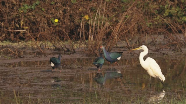 Goa, India. Grey-headed Swamphen Birds In Morning Looking For Food In Swamp, Pond. Porphyrio Poliocephalus. FullHD