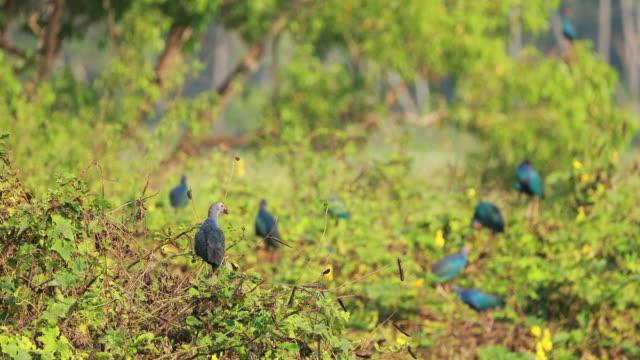 goa, india. grey-headed swamphen birds in morning sitting on bush branches near swamp. porphyrio poliocephalus - ornitologia video stock e b–roll
