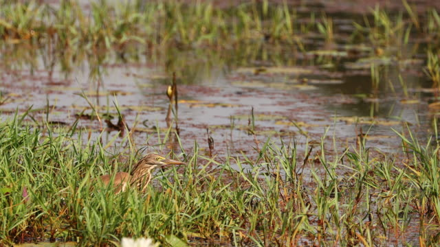 goa, india. indian pond heron in morning looking for food in swamp. indian pond-heron - ornitologia video stock e b–roll