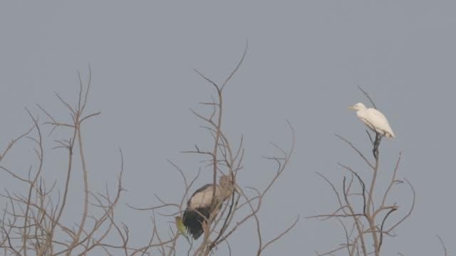 goa, hindistan. beyaz küçük egret ve asya openbill kuş ağacın dalı üzerinde oturan. derecelendirilmemiş canon c-log - full hd format stok videoları ve detay görüntü çekimi