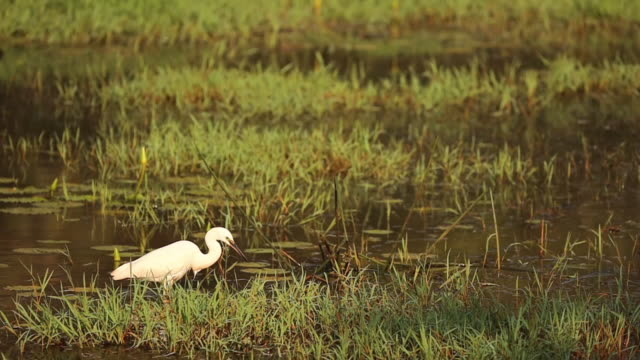 Goa, India. White Little Egret Catching Fish In River Pond. slow mo, slow motion