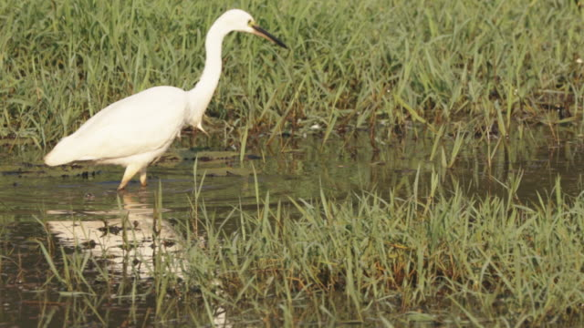 Goa, India. White Little Egret Catching Fish In River Pond