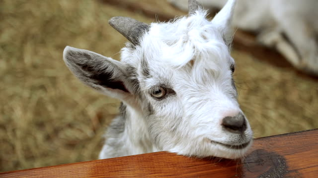 Goat. A white goat lies on the hay Goat. A white goat lies on the hay pasture stock videos & royalty-free footage