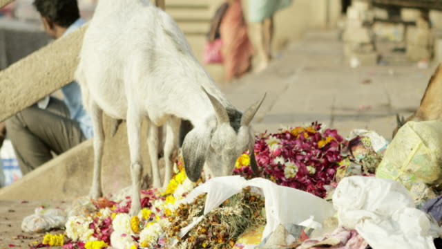 Goat eating colorful flowers. video