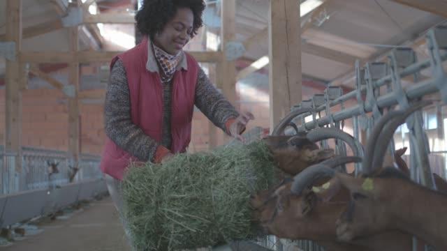 goat farm - żywy inwentarz filmów i materiałów b-roll