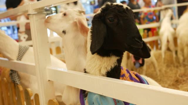 goat in farm - żywy inwentarz filmów i materiałów b-roll