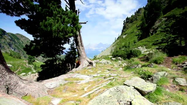 goat in the mountains; hd dolly shot - steiermark bildbanksvideor och videomaterial från bakom kulisserna