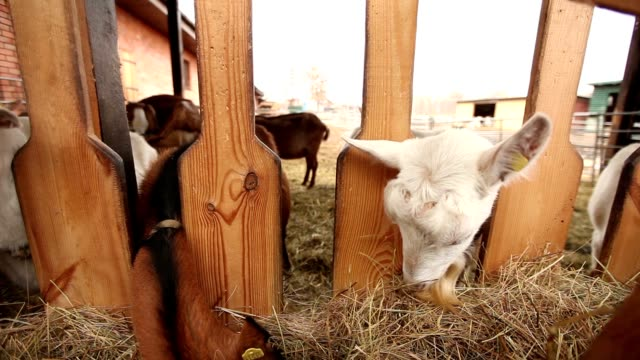 Goat looks at the camera close-up, beautiful goat on the farm video