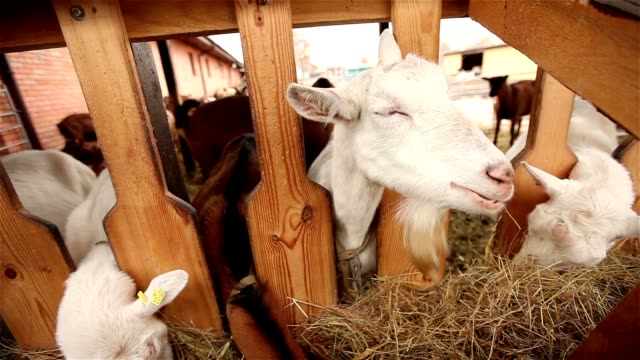 Goat looks at the camera close-up, goat on the farm video