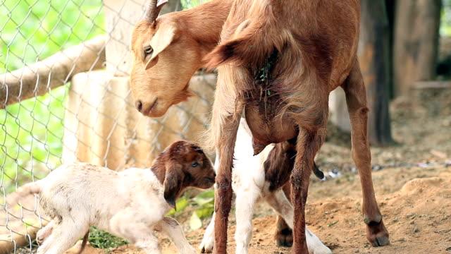 Mère de chèvre alimentation avec du lait et son nouveau-né jumeau dans la batterie de serveurs locale de nettoyage - Vidéo