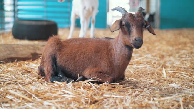 vídeos de stock e filmes b-roll de goat on a farm - plano charriot
