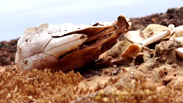 stockvideo's en b-roll-footage met geit skeleton - fuerteventura - dierlijk bot