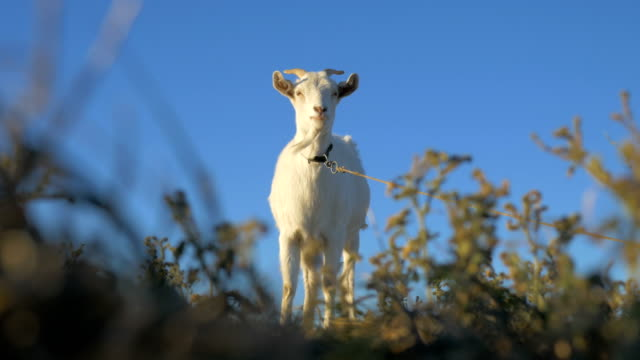 Goat stands on the background of grass and blue sky