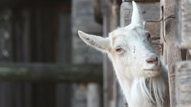 Goat (who's there?)