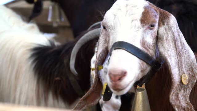 çan ile keçi - kurban bayramı stok videoları ve detay görüntü çekimi