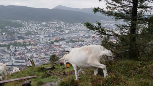 vídeos y material grabado en eventos de stock de cabras comiendo hierba, panorama de la ciudad de bergen en el fondo, noruega - bergen