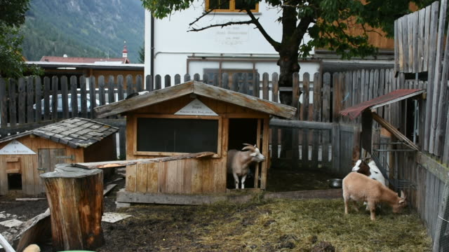 Goats family and Rabbits stand on ground in cage at outdoor video