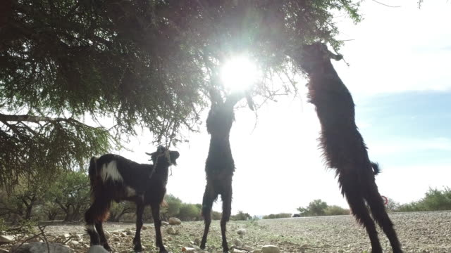 Goats graze in an argan tree