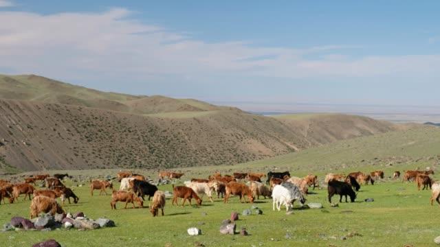 ヤギを放牧自然山境界 Tsagduult、西モンゴルの草原の牧草地 ビデオ