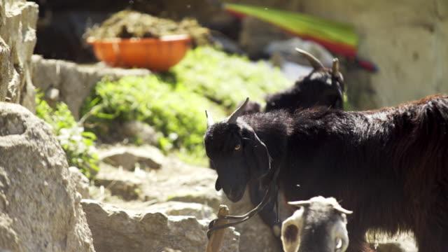 ziegen im sonnenschein am hof - himachal pradesh stock-videos und b-roll-filmmaterial