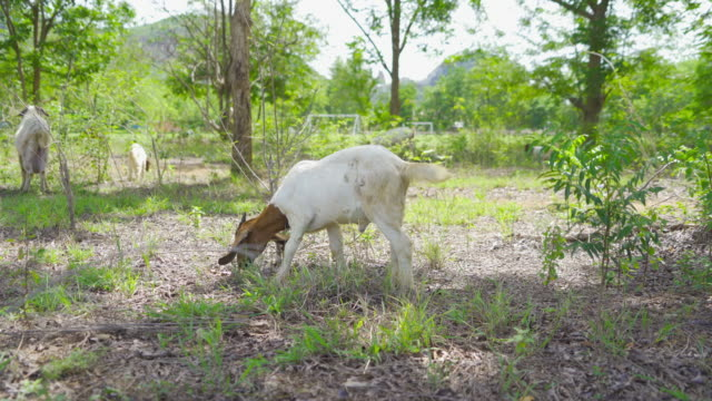 Goats, lamb, or sheep in farm eating green rice and grass field in Kanchanaburi district, Thailand in travel vacation concept. Animals in agriculture farm.