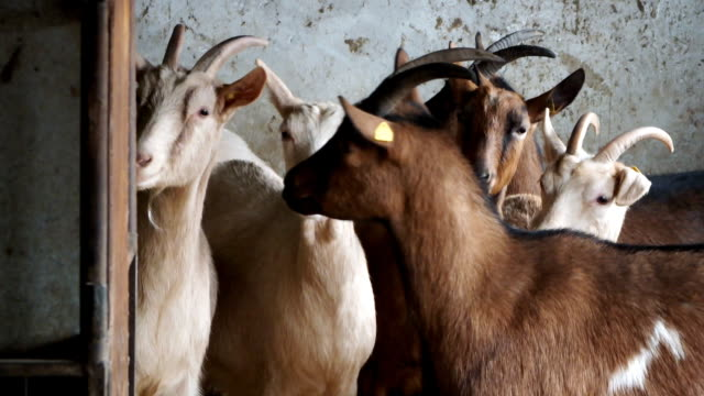Goats of livestock Herd of goats feeding in the winter barn,video clip corral stock videos & royalty-free footage
