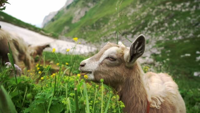 Goats  on pasture in Swiss Alps