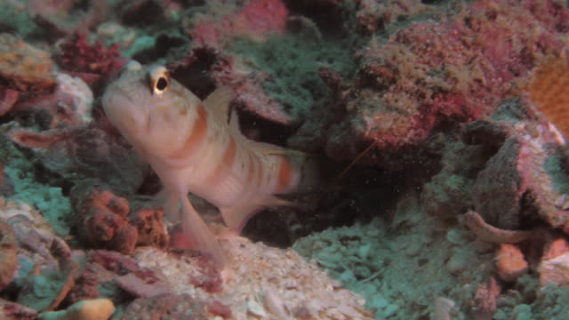Goby And Shrimp video