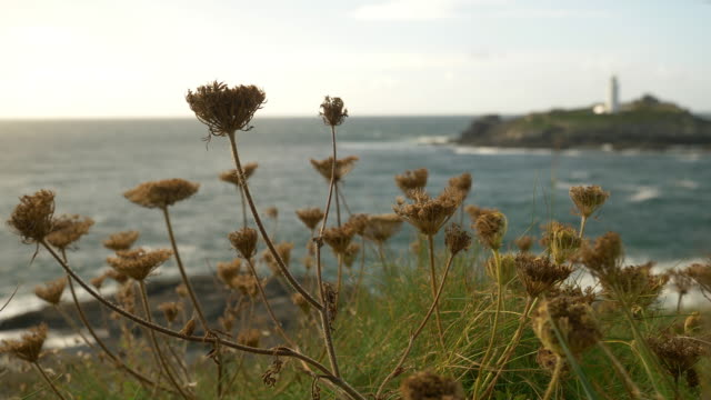 Godrevy Lighthouse, Cornwall. Wild Carrot blowing in the wind.