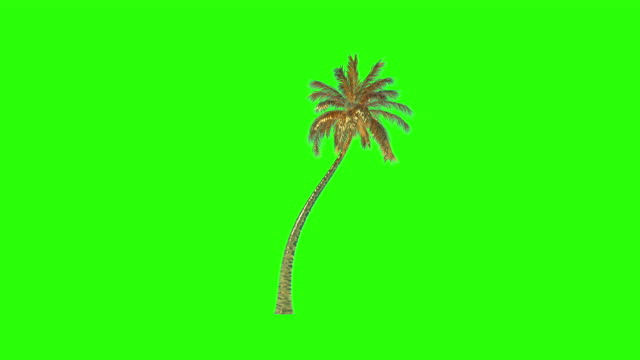 Gold Coconut Palm Tree timelapse growing, Green Screen Chromakey
