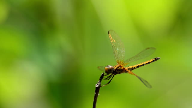 stockvideo's en b-roll-footage met gold dragonfly - arthropod
