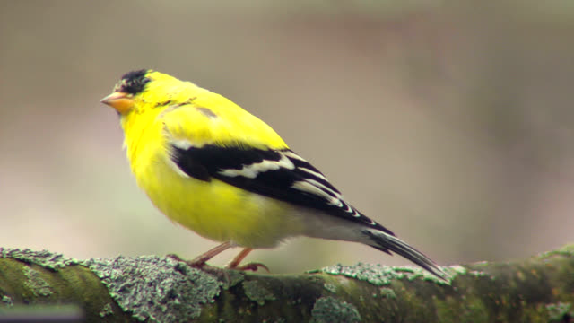 Gold finch in spring video