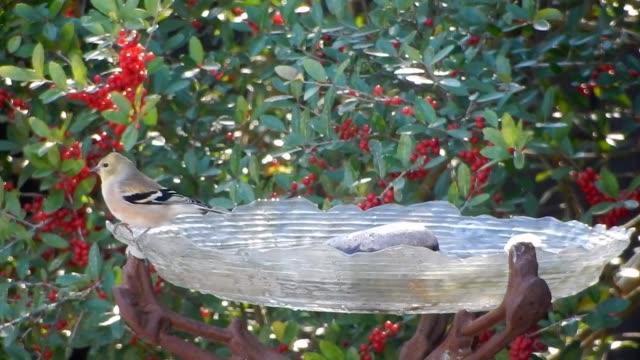 Gold finch on birdbath