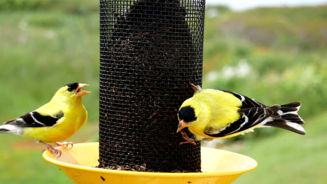 Gold Finches 1 video