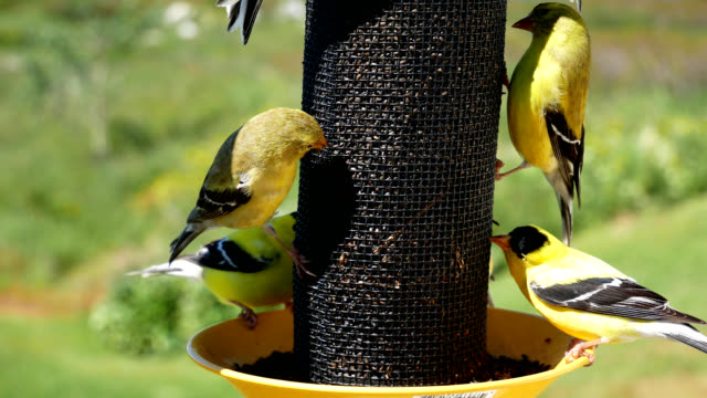 Gold Finches 2 video
