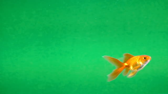 gold fish in aquarium on a green screen, seamless looping - soltanto un animale video stock e b–roll