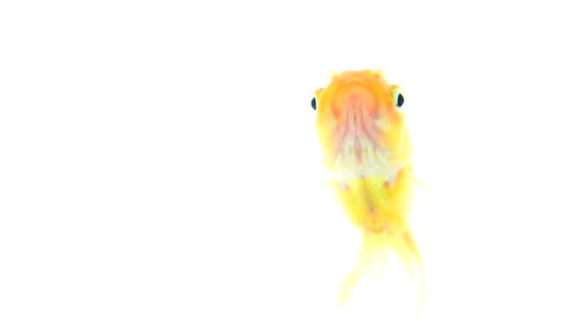 gold fish isolated on white gold fish isolated on white freshwater stock videos & royalty-free footage