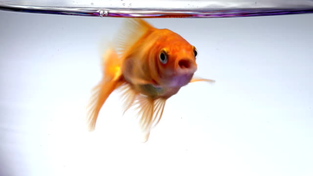 gold fish surprise and open mouth - sorpresa video stock e b–roll
